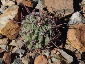 Cactus boule, il est bien protégé