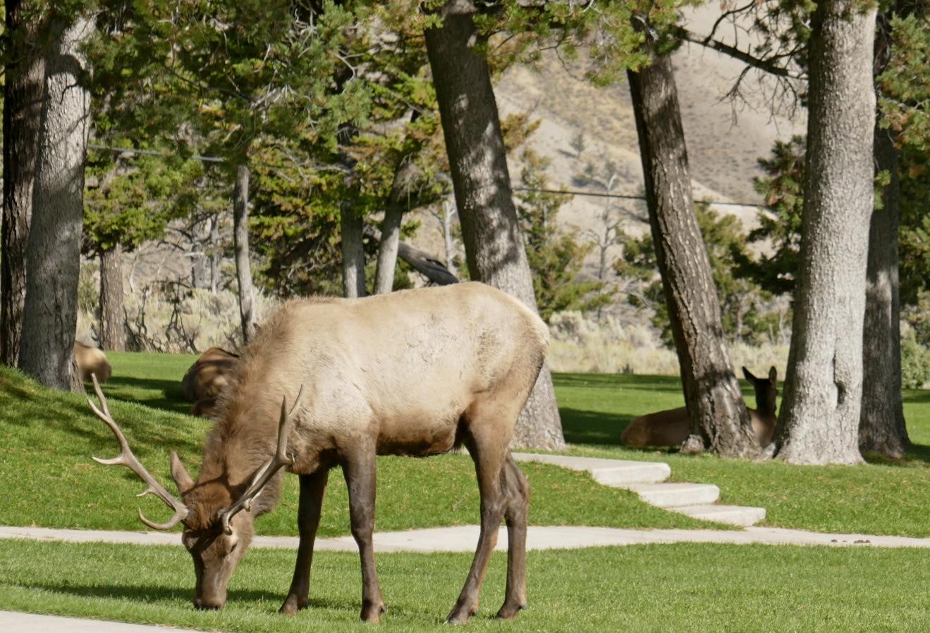 Caribou mâle et ses femelles au  Mammoth visitor center
