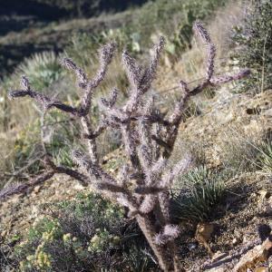 Cactus il pique