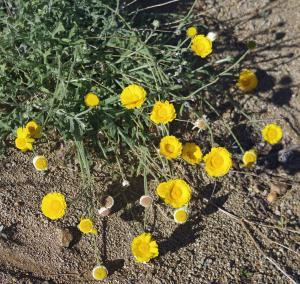 Désert en jaune et sable calcaire