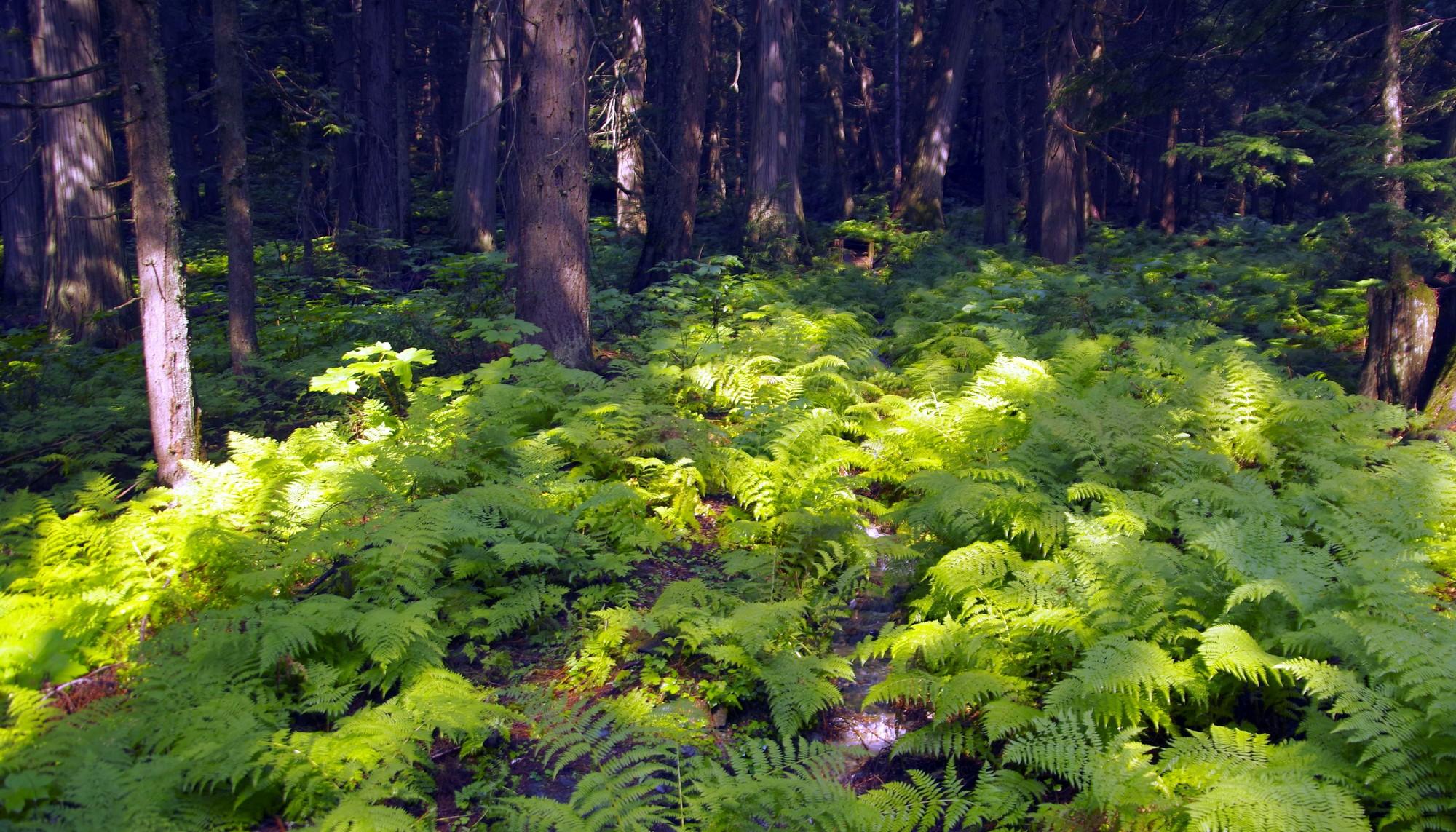 Que la fougèere pousse bien dans les forêts humides