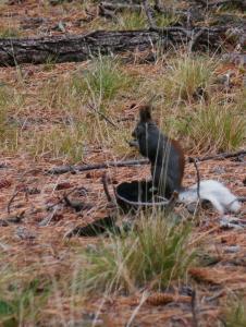 Grand Canyon, écureuil a queue blanche