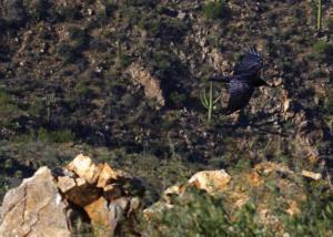 GRand Corbeau en vol sur la falaise