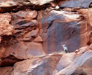 Heron vert sur le canyon