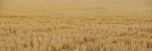 Montana, les récoltes de blé