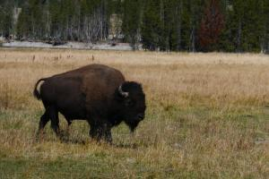Le bison , maitre de Yellowstone