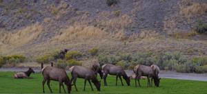 Le harem de notre caribou male