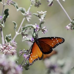 Papillon type Monarque