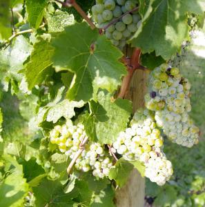 Riesling grape