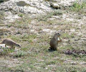 Roosevelt NP- Prairie Dog