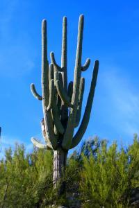 Saguaro, il a au moins 120 ans