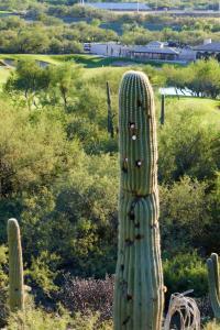 Saguaros attaquépar des golfeurs