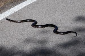 Serpent Kingsnake sur piste cyclable