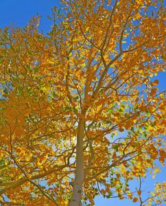 Tremble(aspen) sur la Cottonwood pass