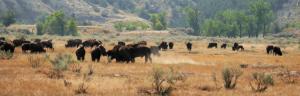 Les bisons sont partout