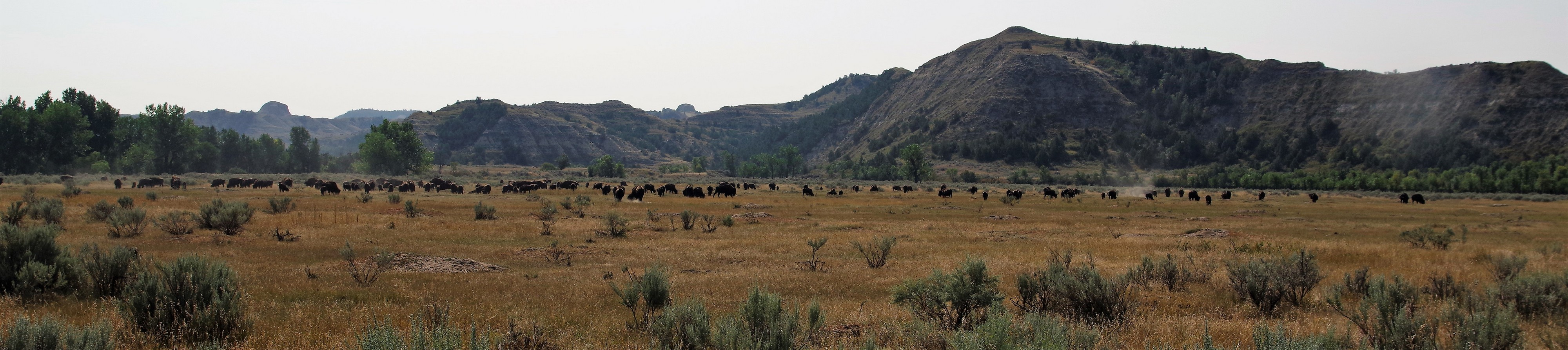 troupeau bison T Roosevelt