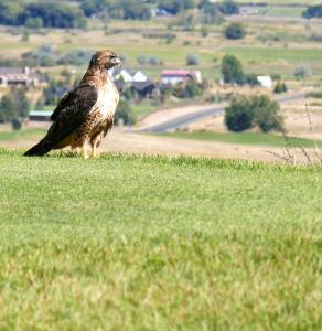 Un faucon pélerin surveille notre balle