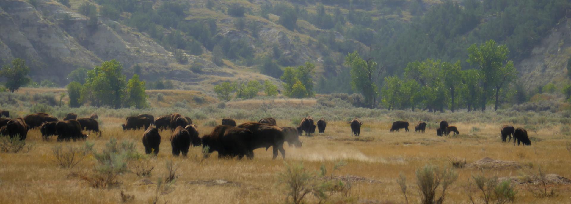 2 bison1