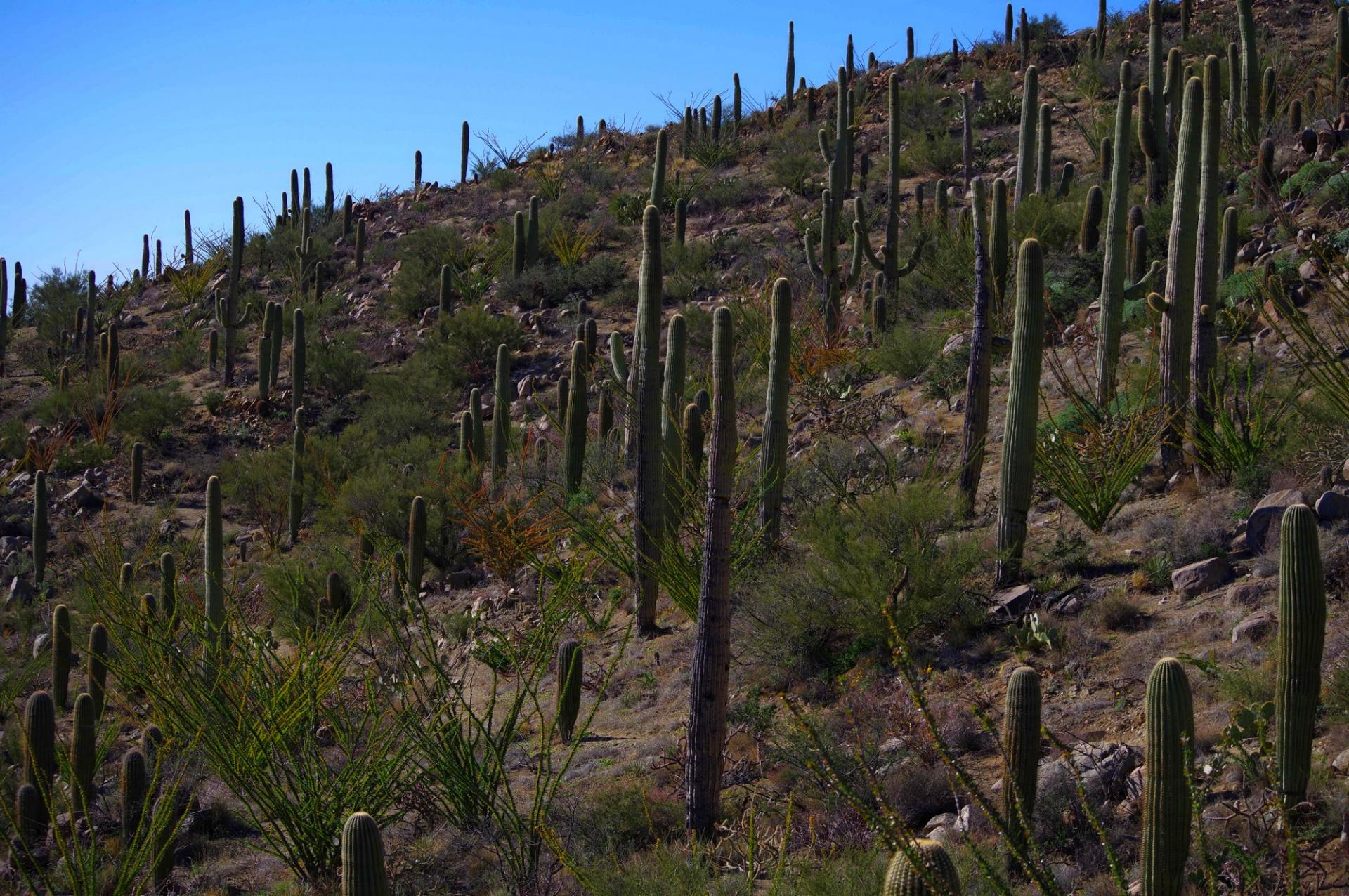 Saguaro maitre du sonoran
