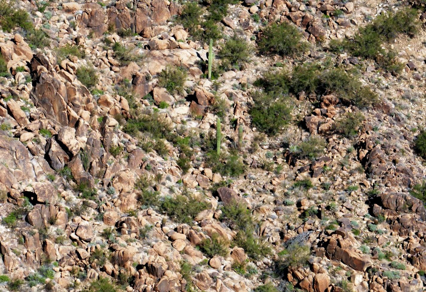 Saguaros pousse dans la roche