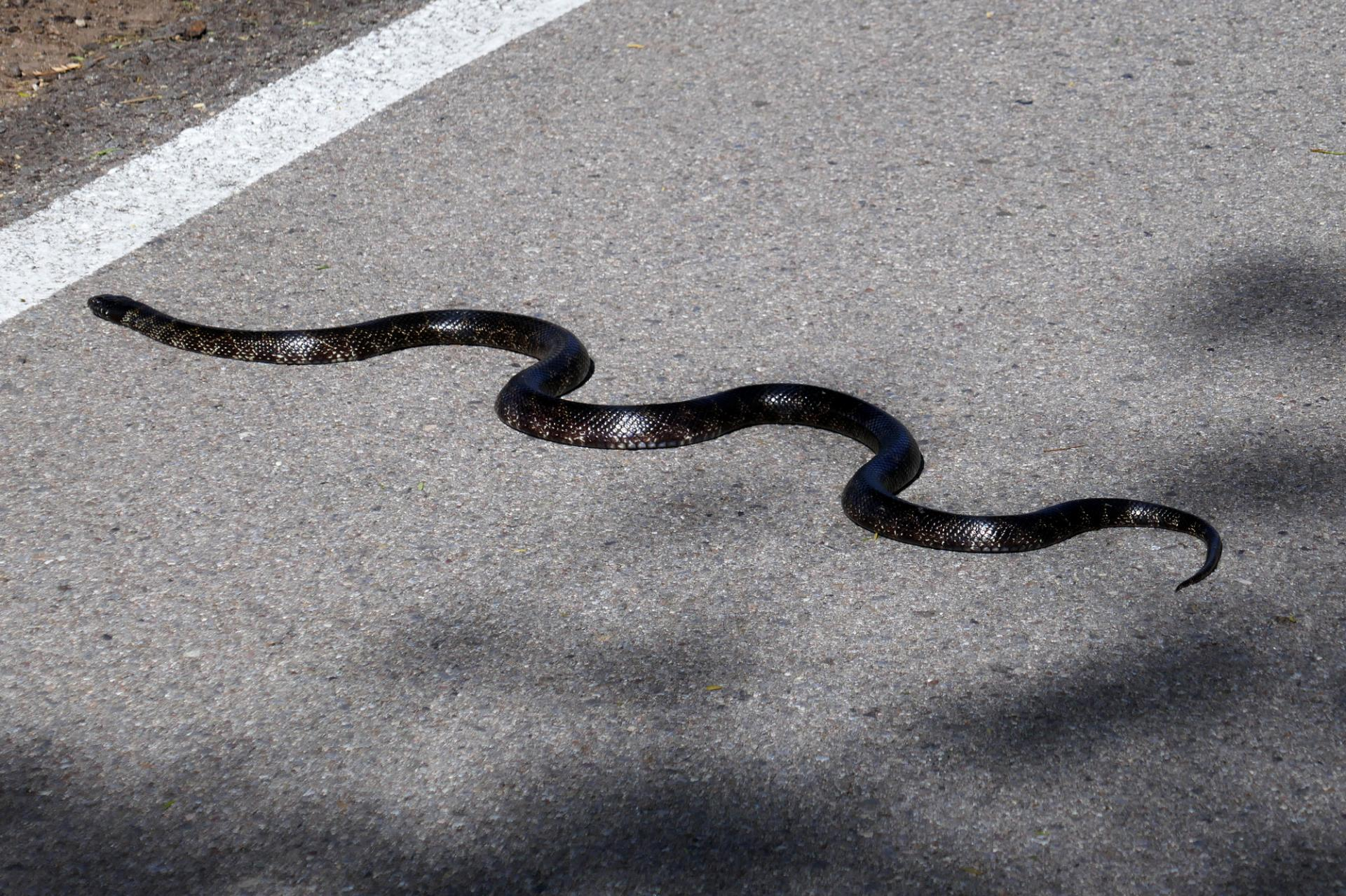 Serpent kingsnake sur piste cyclable